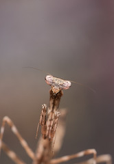 1DX_7556 (felt_tip_felon) Tags: macro bug insect predator prayingmantis creepycrawlies mantid