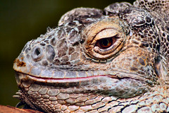 Iguana (Petleg9) Tags: hot face mouth eyes handsome exotic iguana scales tropicalwings