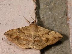 Tha-Ton_20121014_04_39 (I love comments but delete awards - Jan F. Rasmuss) Tags: moth moths thailand southeastasia lepidoptera d800 nikon catocalinae erebidae noctuoidea idwanted thaton 2012 erebiidae erebinaeinat