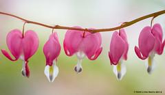 Bleeding Heart (gerilynns) Tags: pink white flower green stem natural maine bloom bleedingheart