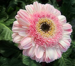 Pink Sunshine (Mary Faith.) Tags: pink flower macro nature double gerbera mygearandme blinkagain