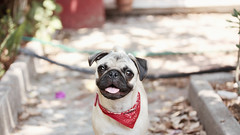 Happy pug, happy humans. (AMCH Photography) Tags: portrait dog pet film animals analog puppy photography grain pug amchphotography alejandromcamposherrera