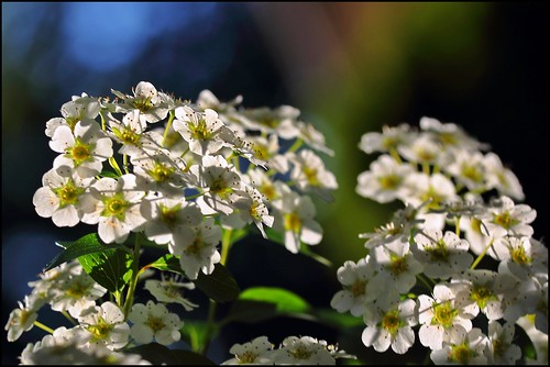 White Flowers: Finally Some Sun But Going Down To Freezing Tonight