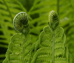 A pair in green (nikjanssen) Tags: fern nature patterns pair paar mygarden varen greengroen
