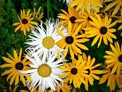 Daisy Fantasy (the mindful fox) Tags: flowers flower yellow daisies fleurs jaune cluster flor gelb daisy blomma fiore blomst steveston bloem lill  kwiat browneyedsusan   kvt blmen gl