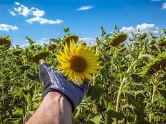 Touching the Sun (Alex Demich) Tags: sun sunny sunflower sunflowers plants agriculture outdoor countryside summer sky clouds flower flowers hand blue yellow green white field nature touch