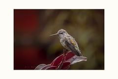 Tranquil (Krasne oci) Tags: tranquil bird hummingbird dof bokeh evabartos artphoto photographicart beautifulphoto nature flickr canon5dmarkiii wildbird smallbirds 5955