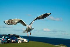 IMG_6275-2 (gsreejith) Tags: silvergull inflight birds birdinflight blue sky