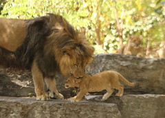Tiberius Puts the Bite on Toby (Jay Costello) Tags: tiberius toby tobias lin cub lioncub animalbaby tawny lion jungle zoo mammal buffalo buffalozoo