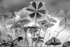 Week 29 - b/w contrast (kimedwards1123) Tags: flowers blackandwhite bw contrast 2016 photochallenge d7200