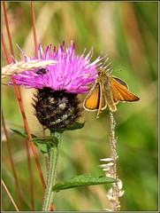 Rosedale Skipper (Hector Patrick) Tags: flickrelite fujifilmxpro2 fujinonxf18135lmoiswr lightroom66 northyorkmoors northyorkshire rosedale rosedaleabbey stmaryandstlaurence yorkshire botany britnatparks churchyard flowers insects