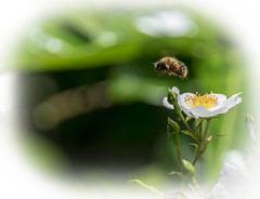 collector bee (frankie.cooke@btinternet.com) Tags: nature bee wildlife insect pollen beautiful flight sting creature god