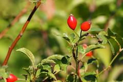 csipkebogy / rose hip (debreczeniemoke) Tags: nyr summer rt meadow vrs red bogy berry csipkebogy rosehip olympusem5