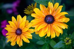 BIG YELLOWS (SHARKYRAY) Tags: flower nature yellow jaune plant