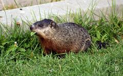 Green Dinner Idea (kaprysnamorela) Tags: groundhog marmotamonax woodchuck whistlepig groundsquirrel animal outside toronto cherrybeach ontario lake canada nikond3300