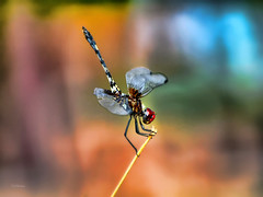Soften You Up (vgphotoz) Tags: vgphotoz softenyouup pastels bleedingcolors nature outdoor dragonfly mix wings arizona colors friends ngc photoshopcreativo fugitivemoment