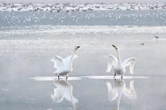Love song for you. (K16mix) Tags: japan miyagi izunuma kurihara swan nature lake wildlife wildbird morning love song pure sure eaafp ramsarconvention           lohas