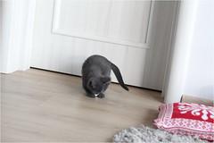 IMG_2515 (murkla_la) Tags: cat russianblue moussie gray graycat