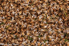 New Colony ( feral honey bees ) (Malcom Lang) Tags: insects bees apis mellifera swarm swarming colony honey bee grass ground wings eyes pollination hive hives feral outdoors outdoor outside eyrepeninsula eyre southerneyrepeninsula southaustralia southern south southernaustralia australia australian aussie malcomlang malcomlangphotos mal canoneos6d canon canonef2470mm canon6d canonef country farmland ngc ag