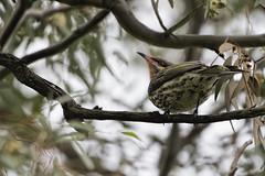 Spiny-cheeked Honeyeater (Acanthagenys rufogularis) 2016-08-06 (6D_0507) (ajhaysom) Tags: spinycheekedhoneyeater acanthagenysrufogularis woodlandshistoricpark greenvale melbourne australia australianbirds canoneos60d sigma150600 100xthe2016edition 100x2016 image58100