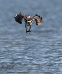 Osprey 8_25 Dive (krisinct- Thanks for 12 Million views!) Tags: nikon d500 500 f4 vrg