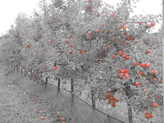 DSCN0373 (mavnjess) Tags: 1 may 2016 cripps pink lady apples orchard red black white bw sacha cin lucinda giblett cooking hibiscus compost composting compostbays chestnuts chestnut tree train carriages rainbow trolley bus trolleybus carriage
