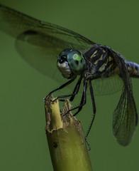 DragonFly_SAF9476 (sara97) Tags: copyright2016saraannefinke dragonfly flyinginsect insect missouri mosquitohawk nature odonata outdoors photobysaraannefinke predator saintlouis towergrovepark urbanpark