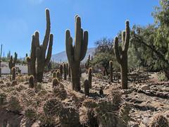 """Tilcara: jardin botanique d'altitude <a style=""""margin-left:10px; font-size:0.8em;"""" href=""""http://www.flickr.com/photos/127723101@N04/29058836692/"""" target=""""_blank"""">@flickr</a>"""