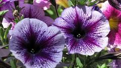 purple  ( Graa Vargas ) Tags: petunia flower graavargas 2016graavargasallrightsreserved purple bicolor 12607100916