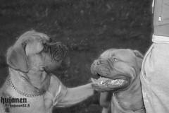 Calm down, Bro! (hujanen53) Tags: lappeenranta suomi finland kesä summer sunnyday sun aurinko auringonvalo aurinkoista koira dog pet lemmikki bordeauxdog bordeauxmastiff bordeaux'ndoggi doguedebordeaux mustavalko mustavalkoinen blackandwhite bw godox