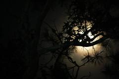 Through The Trees (nicolehartman) Tags: moon moonlight full sturgeon night sky long exposure astrophotography trees nature no filter raw canon canoneos canonrebelxs