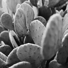 Cacti (BurlapZack) Tags: pentaxk1 sigma35mmf14dghsm sigma35art vscofilm pack06 dallastx designdistrict cactus cacti bw mono monochrome flora bokeh crop square closeup texture knobs