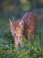 Luchs (Lynx lynx) (manni_ded) Tags: sigma150600mmossport d4s wildpark granat luchs lynx