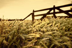 In the Countryside (parkerbernd) Tags: countryside country life corn gate sunset summer ears heads heat germany explore