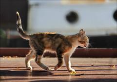 Curiosit (chando*) Tags: barge bateau boat cat chat chaton kitten pniche ronquires
