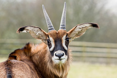 Roan Antelope (Linda Martin Photography) Tags: canoneos5dmarklll animals roanantelope wildanimalpark portlympne kent uk wildlife coth coth5 ngc
