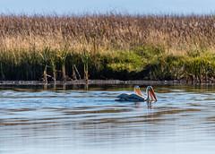 American white pelican (Chicharrnes) Tags: americanwhitepelican klamathfalls oregon unitedstates us