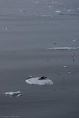 Harp seal on ice 3 (Elvar H) Tags: arcticocean harpseal helmerhansen phocagroenlandica siarctic grnlandssel seal sealsampling sel vuselur