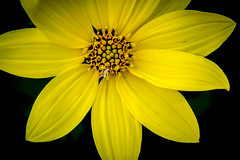 75thDay11-72A_0893-2.jpg (hubertstevecole) Tags: floral hubertstevecole flowers backyard yellow 365 365project
