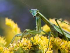 Praying mantis (suzynewman) Tags: praying mantis goldenrod flower