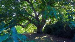 """Magnolia Acuminata""...Cucumber Tree... North America (standhisround) Tags: trees tree nature magnolia magnoliaacuminata northamerica leaves rbg royalbotanicalgardens kewgardens kew london uk cucumbertree"