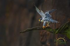 Stretcher (Scott Joshua Dere) Tags: fastest cliffhanger cliffside hirewireact birdofprey raptor peregrine falcon birding