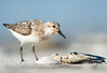 Fading (Khurram Khan...) Tags: sanderling wildlife wildlifephotography wild ilovenature ilovewildlife iamnikon wwwkhurramkhanphotocom khurramkhan nikon nikkor nj 3fd0opgkf