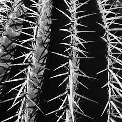Polisi amddiffyn (Rhisiart Hincks) Tags: cactus cactws duagwyn gwennhadu dubhagusgeal dubhagusbn zuribeltz czarnobiae blancinegre blancetnoir blancoynegro blackandwhite  bw feketefehr melnsunbalts juodairbalta negruialb siyahvebeyaz rnoinbelo    zwartenwit mustajavalkoinen crnoibelo ernabl schwarzundweis playadelingls grancanaria