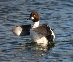 Goldeneye (Peanut1371) Tags: goldeneye duck wings water nationalgeographicwildlife