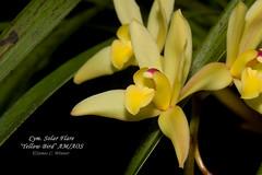Cymbidium Solar Flare 'Yellow Bird' AM/AOS (Orchidelique) Tags: nature plant flower exotic orchid hybrid cymbidium cym solarflare yellowbird am aos ncjc insigne dayanum jdunkelberger