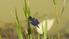 Sapphire Flutter (Rhyothemis triangularis) (zleng) Tags: dragonfly macro macrophotography macrodreams macroshot malaysia odonata