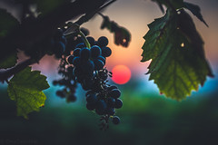 the last energy (ChrisTalentfrei) Tags: vine vineyard wein weinberg rheinhessen rotwein ernte glow sundown sun september herbst autumn leafes trauben weintrauben grapes dusk sunset sonne green red glowball sonnenuntergang fireball sony ilce7m2 alpha sigma 35mm f14 art emount ef ff dof pov
