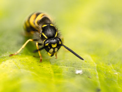 Wasp (Billy J Davies) Tags: wasp leaf macro vibrant yellow green black insect animal outdoor depthoffield