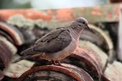 1850 Eared Dove (Zenaida auriculata) 2014 (andykjordan) Tags: eareddove zenaidaauriculata samaipata bolivia